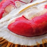 Harvest Time, Haunted of Red Durian of Banyuwangi