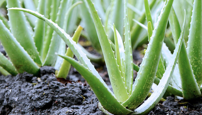 The Advantages of Consuming Aloe Vera