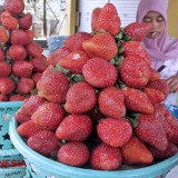Agrotourism: Big Red Stawberry Farm Magetan