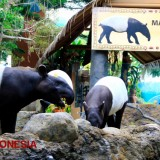 Get Closer to Sila, a One Year Old Tapir at Secret Zoo Jatim Park 2