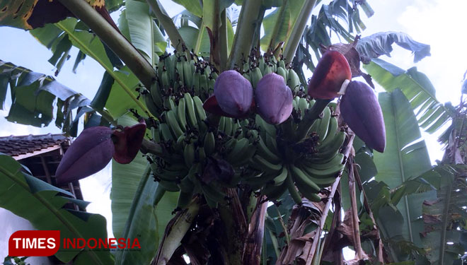 An Exotic Banana Tree with Two Stems and Four Male Buds in Banyuwangi