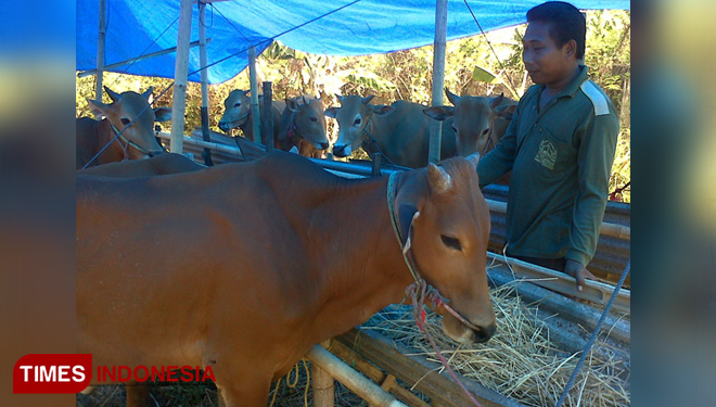 The Madura Cows Got Their Acquisition from Holland