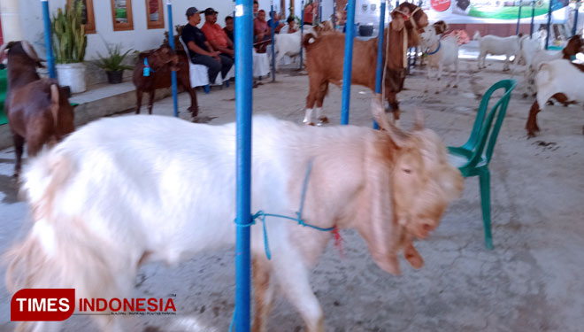 Kontes Kambing Boer Blitar, a Wonderful Contest for Goat