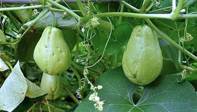 Chayote, a Gout-Friendly Vegetable