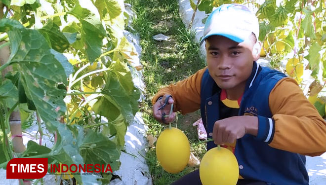 The Golden Melon Gives this Guy IDR 20 M Profit on each Harvesting Season