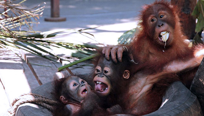 Bali Safari and Marine Park Campaign about the Orangutan Conservation on the World Animal Day
