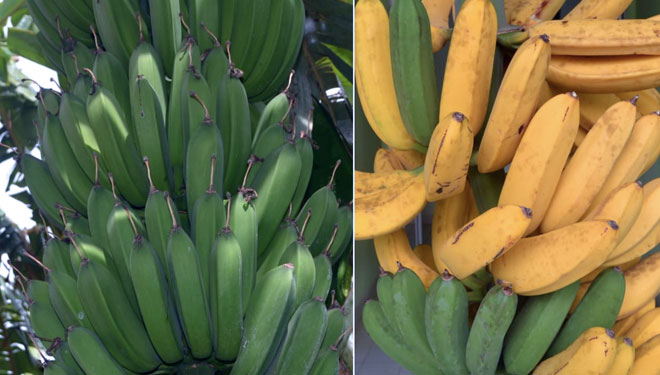 The Kinalun Plantain is Ready to be Distributed Worldwide