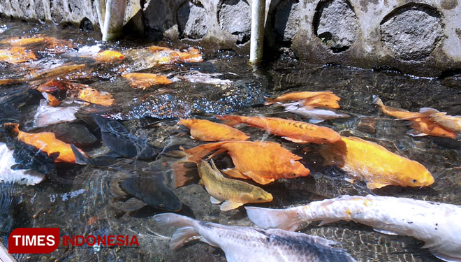 Kampoeng Ikan at Kluncing Village, Banyuwangi. (PHOTO: Agung Sedana/TIMES Indonesia)