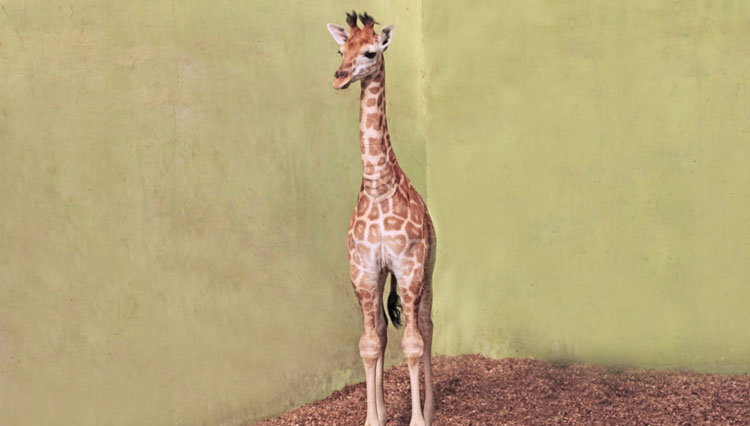 Meet Corona, The New Family Member of Bali Safari Park