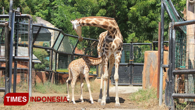 Meet Kindi, a Cute Baby Giraffe at Maharani Zoo Lamongan