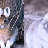 These Animals Change Their Color When Snow Falls