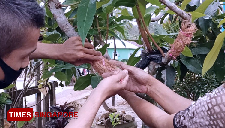 Grafting Method Used to Vegetatively Increase The Wax Apple Tree