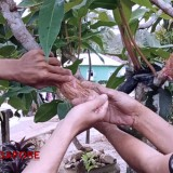 TMMD South Tapanuli Task Force Get Advice on Wax Apple Grafting