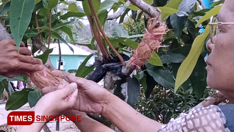 Planted on Pot, The Wax Apple Seeds from Grafting Produce Fruit Faster