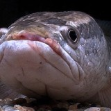 4 Benefits of Snake Head Fish For Your Body
